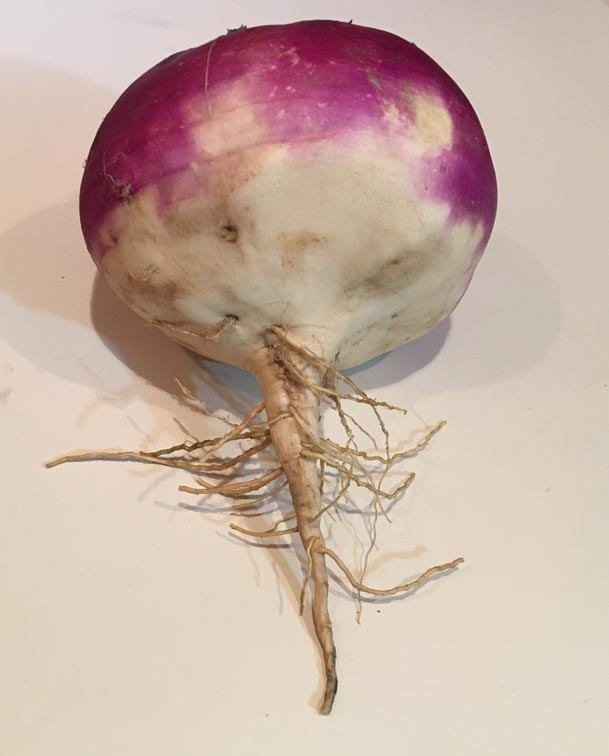 purple and white turnip on white background