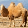 camel standing in desert with rock mountains in background